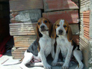 cachorro-animal-estimacao-dog
