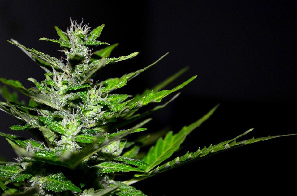 plantio medicinal de maconha